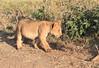 Lion Cubs Family Mara Topi House