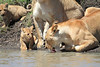 Lion Cub Family Mara Topi House Water
