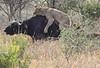 Lion Buffalo Tarangire Tanzania