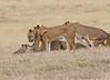 Lion Pride Cubs Crater Tanzania