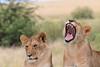 Sub adult Lion Mara Topi House