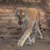 Liger Prowl