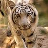 Nash a female white Bengal Tiger