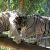 Young female white Bengal Tigers