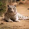 Malika a female white Bengal Tiger