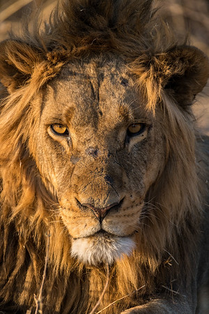 Signs of a Lion's Life
