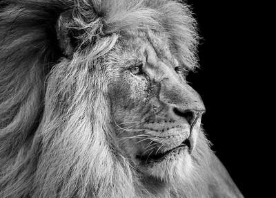 Lion Profile (Right)