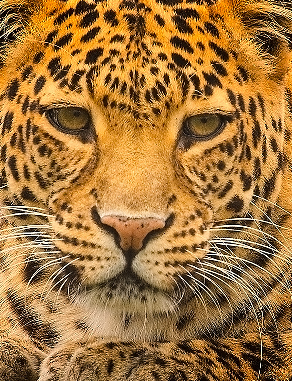Tom Finn-Leopard