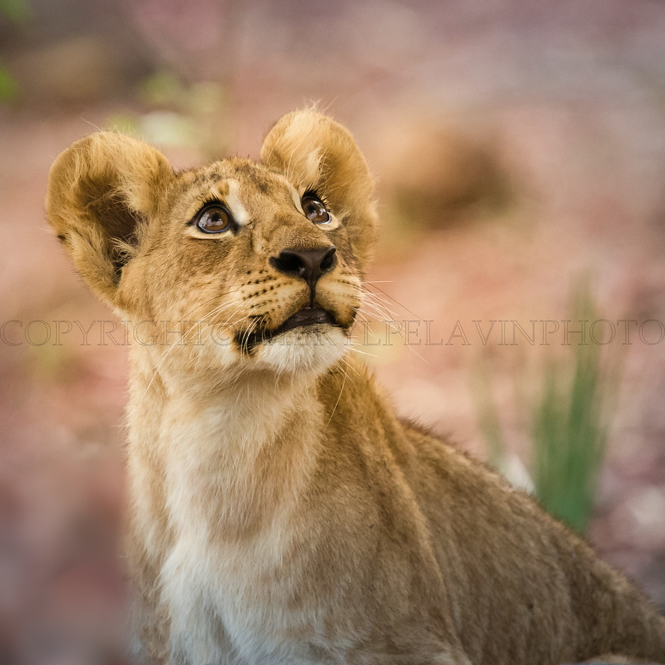 Lion Cub Pauses to Study a Tree for Movement