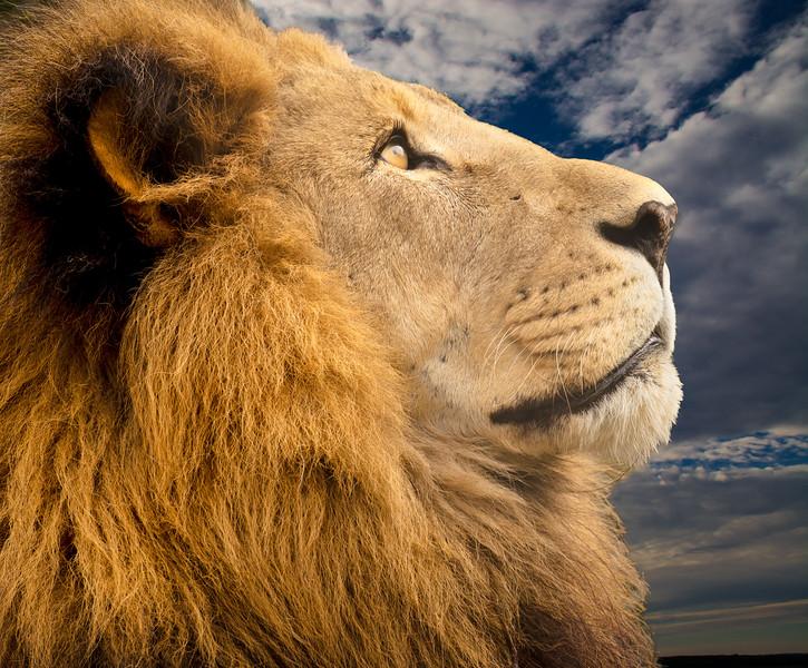 Tom Finn-Majestic Lion