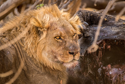 Blond Maned Lion with Blood on His Muzzle