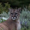 Mountain Lion in Montana