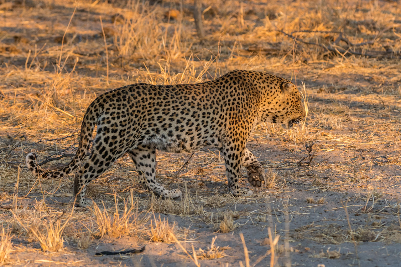 Early Morning Light on Big Male Leopard