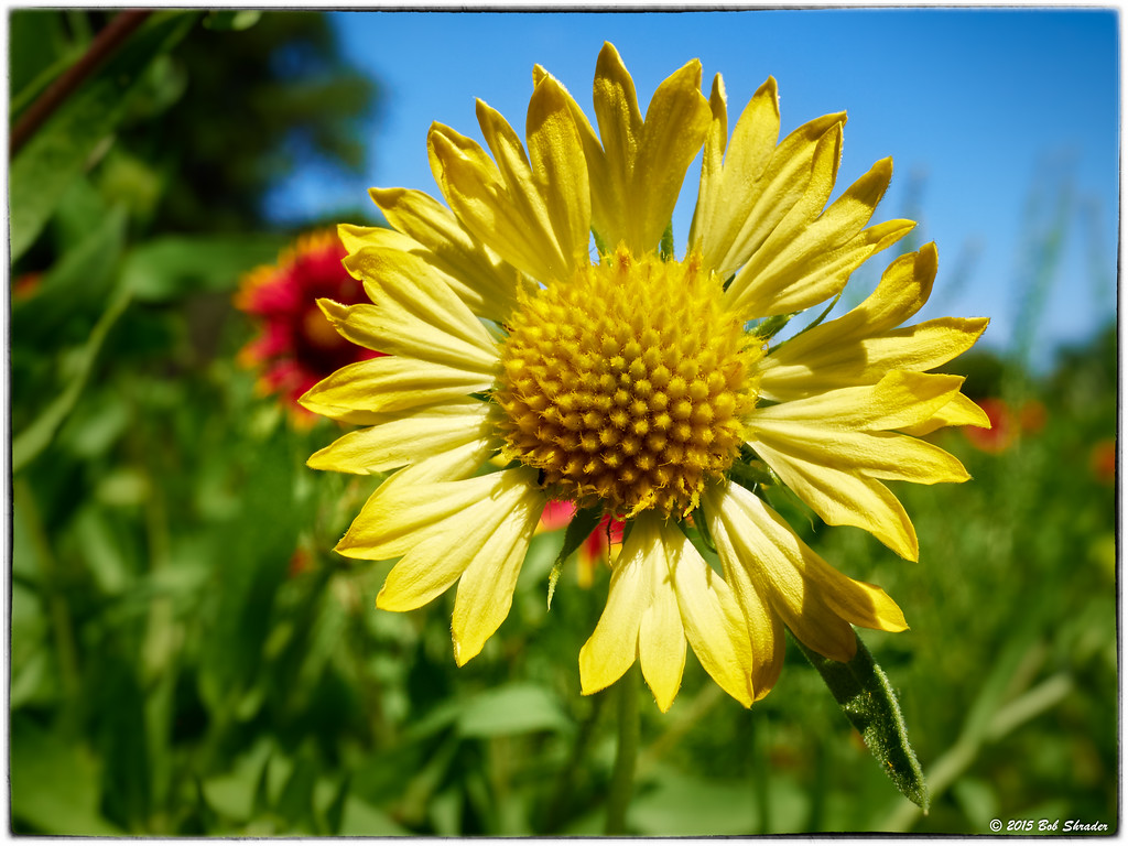 Yellow Indian Blanket