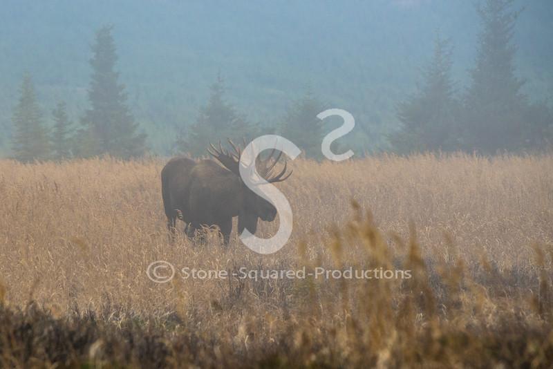 Foggy Moose