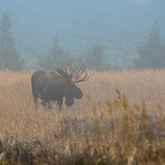 Foggy Moose