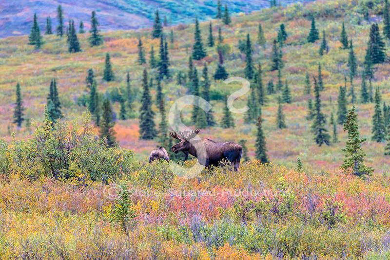 Fall colors Moose