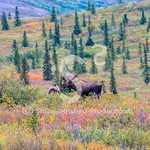 Fall colors Moose
