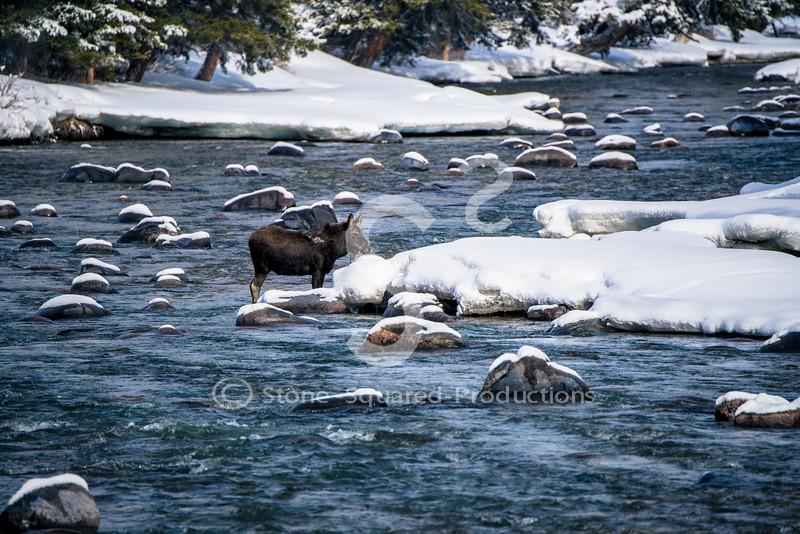 injured baby moose