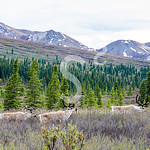 Spring Caribou