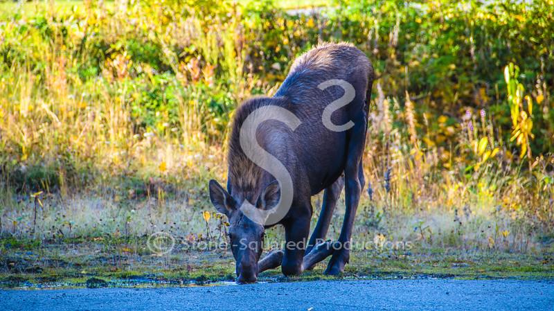 Drinking Moose