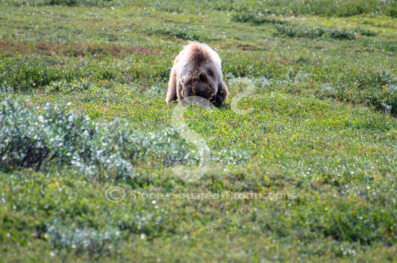 Digging Bear