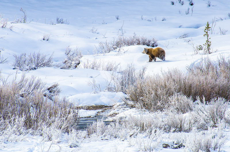 Snowy Grizzly
