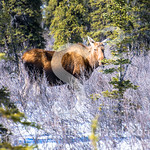 Snowy Moose