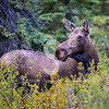 Shrubbery Moose