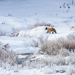Snowy Grizzly