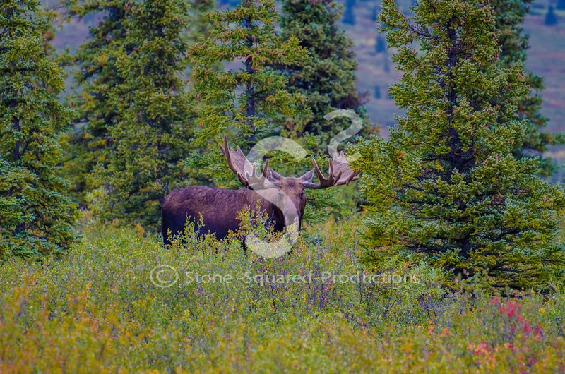 Early Fall Moose