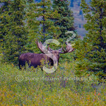 Early Fall Moose