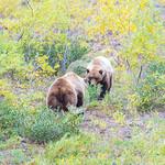 Toklat Bears