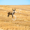 Harvest Buck