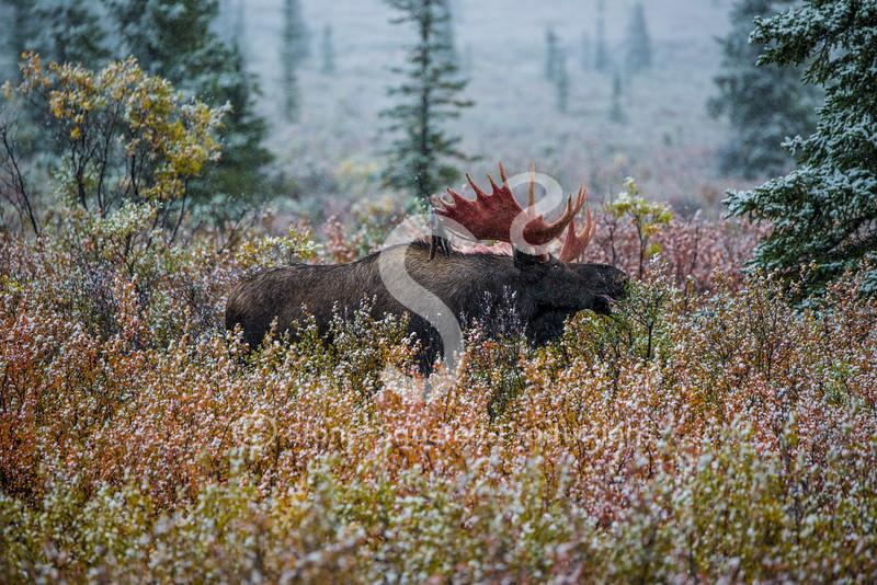Moose teeth