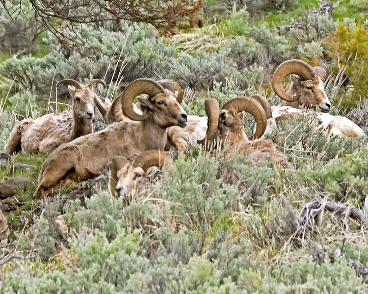 Big Horn Sheep bedded in the Yellowstone River Valley.