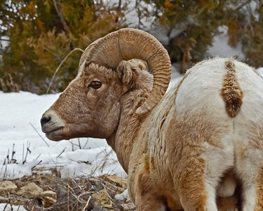 Winter Big Horn Sheep