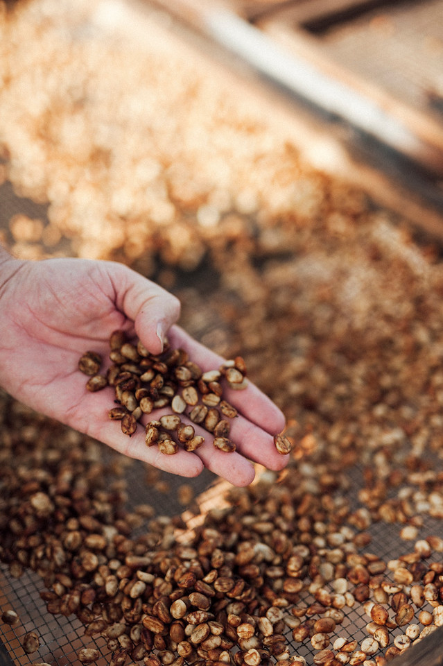 Farm owner Lee Paterson inspects drying coffee beans.