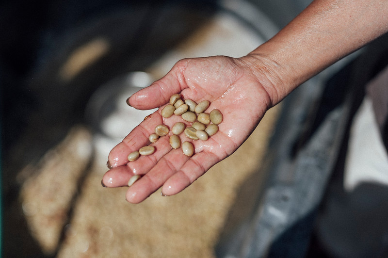 Coffee beans on the Rusty's Hawaiian farm during the Kenya style water process.