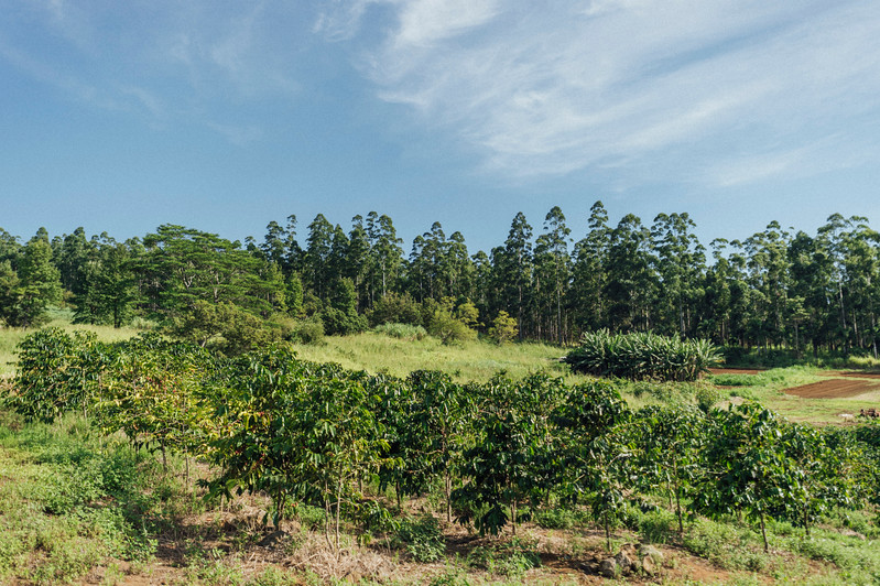 Coffee trees in the morning sun at Rusty's Hawaiian Coffee farm in Ka'u.