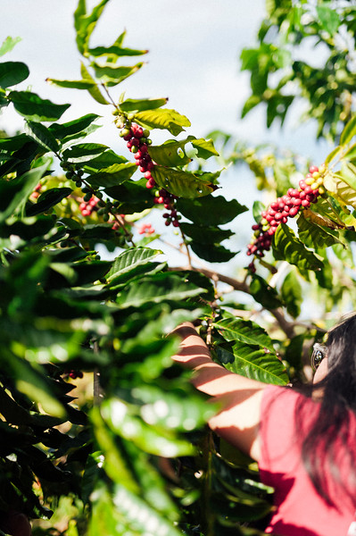 Joan Obra picks ripe coffee cherries off the trees at her family farm on the BIg Island of Hawai'i. Rusty's Hawaiian Coffee comes from the Ka'u district of Hawai'i, an emerging player in the business.