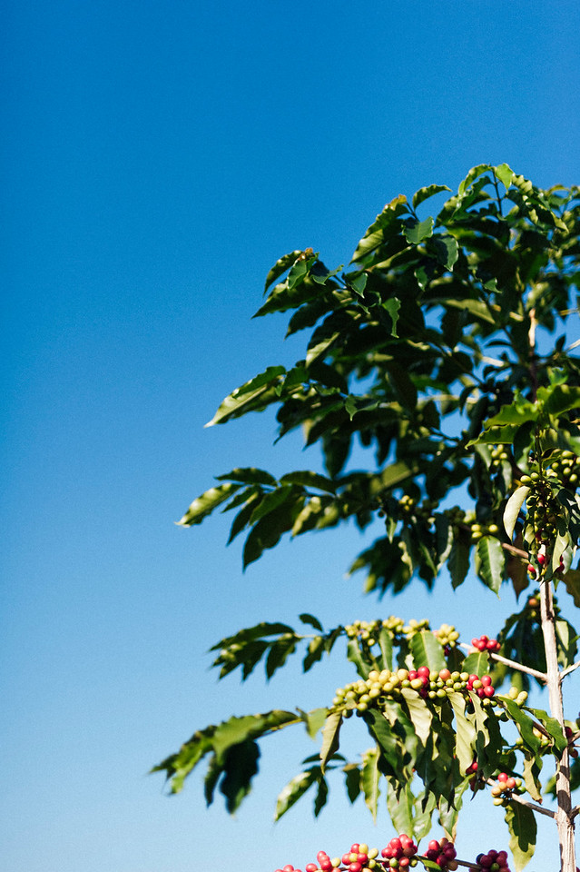 Ripe cherries wait for picking on coffee trees at Hula Daddy Kona Coffee farm.