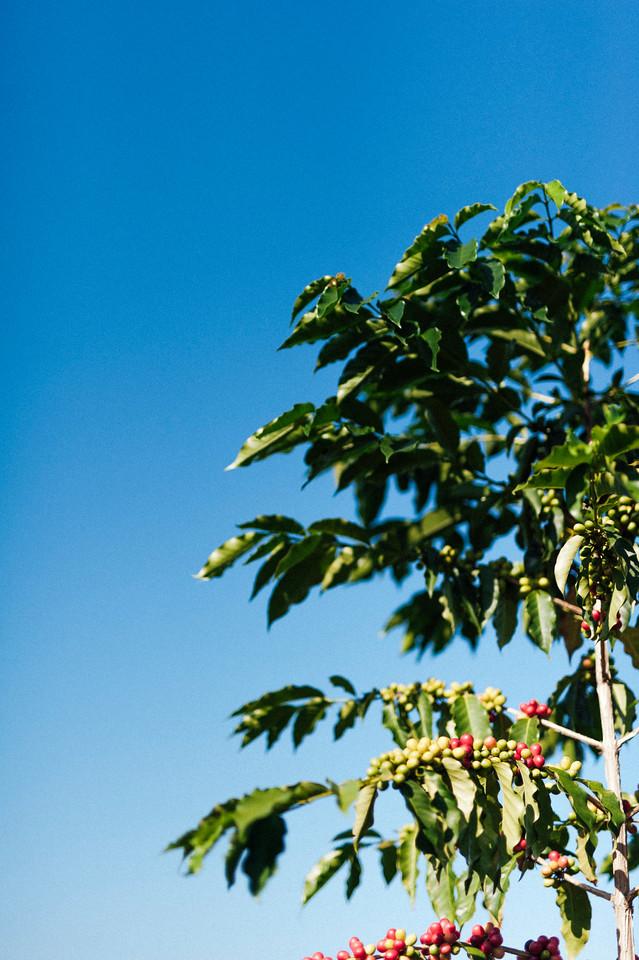Ripe cherries wait for picking on coffee trees at Hula Daddy Kona Coffee farm.