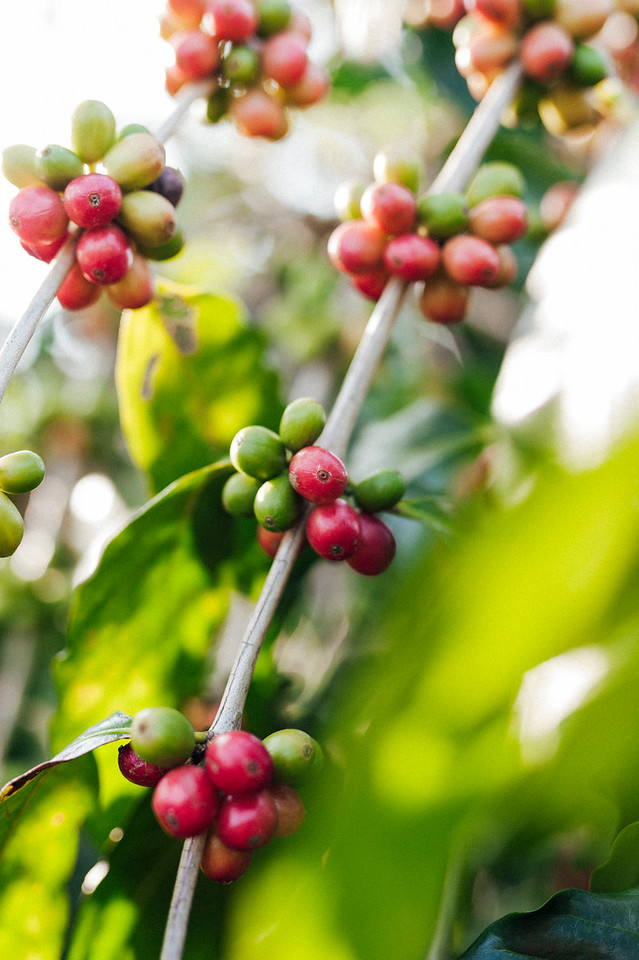 Coffee cherries on the branch at Hula Daddy Kona Coffee farm in Holualoa.