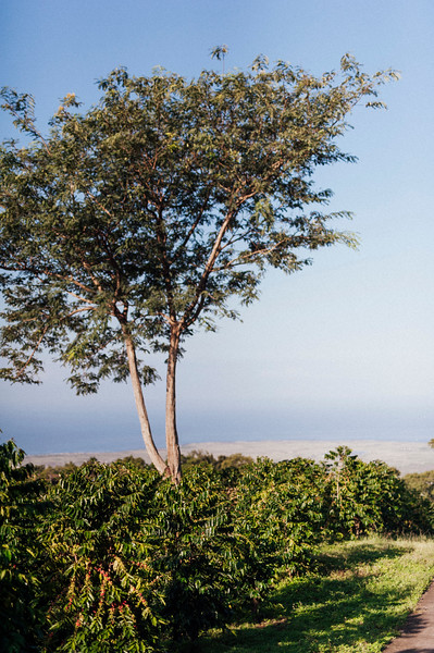 Coffee trees with ocean views at Hula Daddy Kona Coffee farm.