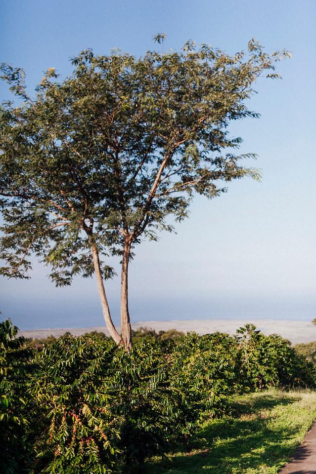 Coffee trees with ocean views at Hula Daddy Kona Coffee farm.