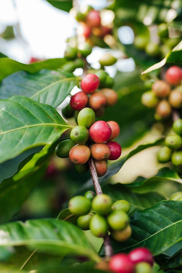 Coffee cherries on the branch at Hula Daddy Kona Coffee farm in Holualoa.