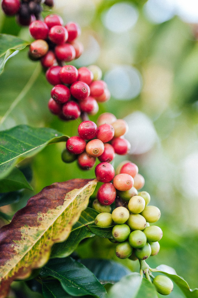 Coffee cherries on the branch at Hula Daddy Kona Coffee farm.