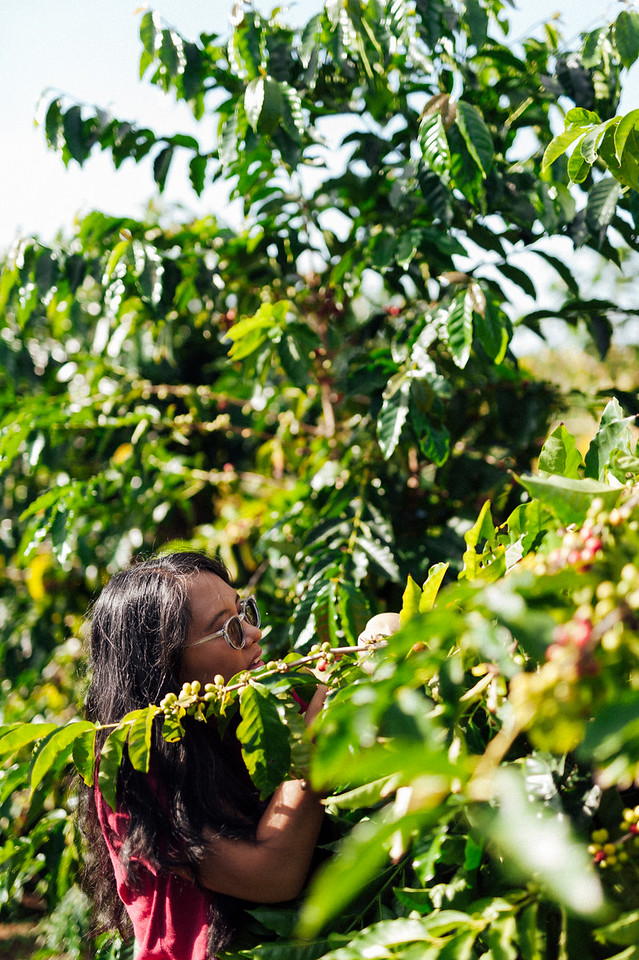 Joan Obra inspects ripe beans on the trees at her family's coffee farm in Ka'u, on the Big Island of Hawai'i.