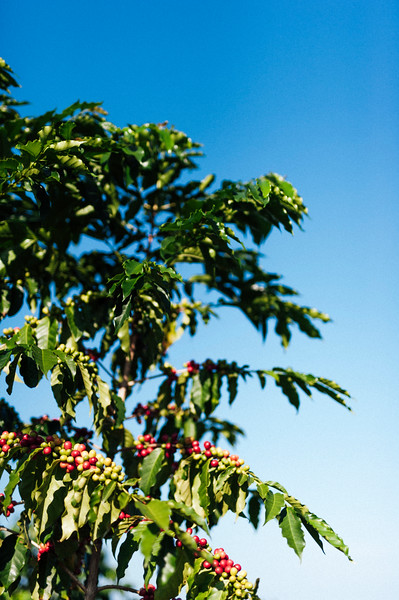 Coffee trees with ripe cherries wait to be picked at Hula Daddy Kona Coffee farm in Holualoa.